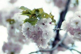 ハート型の桜