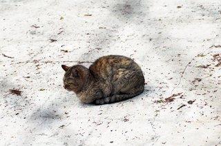 シバザクラを見に来た猫